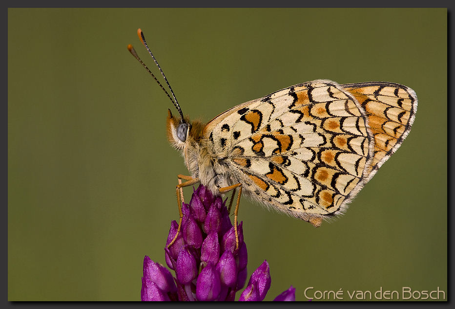, butterfly, parelmoervlinder, frittilary, wallpaper, background ...: www.boschfoto.nl/html/Wallpapers/wallpaperfotos...