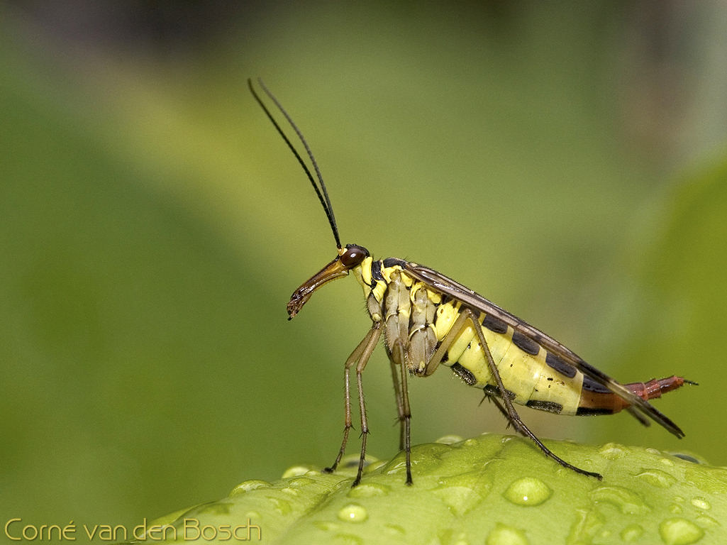 Schorpioenvlieg, scorpion fly, fly, vlieg, wallpaper, background ... Scorpion