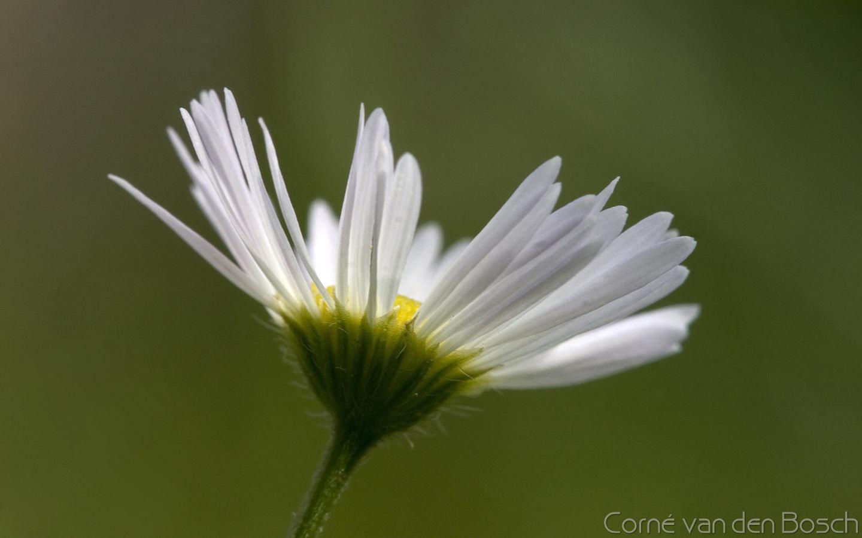 Bloem, flower, bloemen, flowers, breedbeeldwallpaper
